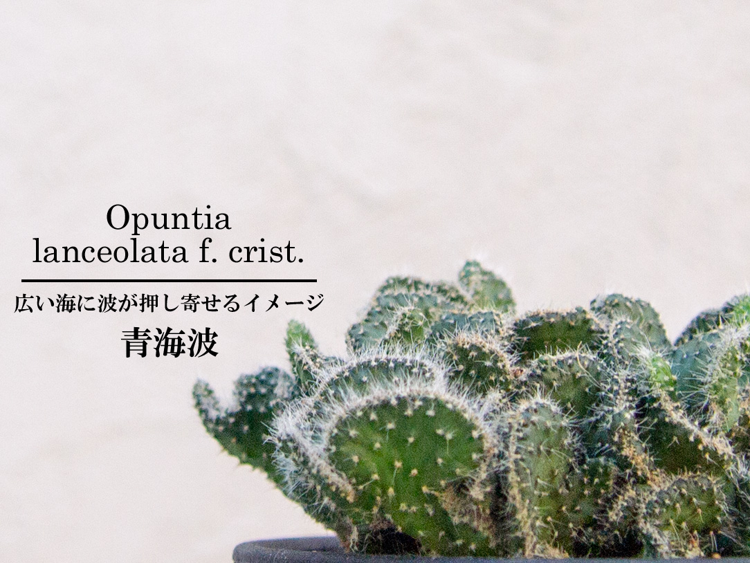 オプンチア 青海波