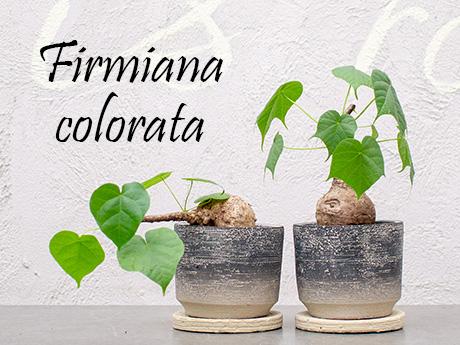 フィルミアナ コロラータ