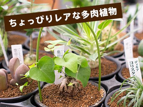 ちょっぴりレアな多肉植物